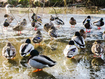 Ducks in a frozen pond Royalty Free Stock Photos