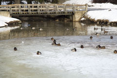 Ducks in Frozen Pond Royalty Free Stock Photos