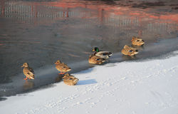 Ducks on frozen river. Flock of mallard ducks on the ice on frozen river in winter Stock Images