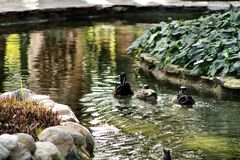 Ducks in the garden pond royalty free stock images