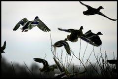 Ducks gathering on a lake in Jutland, Denmark Stock Photography