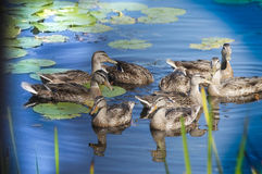 Ducks gathering in a pond with lily pads. Stock Photos