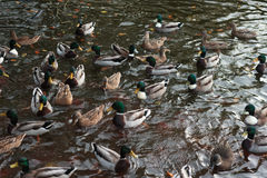 Ducks gathering Stock Images