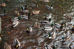 Ducks gathering Royalty Free Stock Images