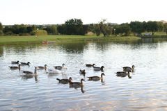Ducks and geese. Swimming in a pond stock image