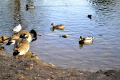 Ducks and geese in and around water. Canadian geese, ducks, morehen and a gull on water and on land Stock Image