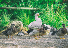 Ducks and geese. Ducks and geese in the barnyard Royalty Free Stock Photo