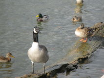 Ducks and geese. In the city park  of Nashville Royalty Free Stock Photography