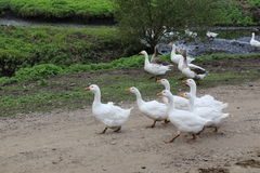 Ducks and geese in the countryside Stock Photos