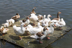 Ducks and geese on a floating platform. A lot of ducks and geese sitting on a floating platform on a lake Stock Photography
