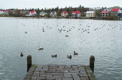 Ducks and geese on the lake. Stock Images