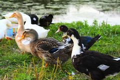 Ducks geese at the lake on the shore. Summer rural landscape birds grass summer water drinking water from a bucket Stock Photography