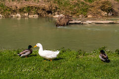Ducks and geese near a quiet river. In the countryside of the hills during spring in Northern Italy near Riolo Terme (Ravenna Royalty Free Stock Photo