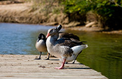 Ducks and Geese on Pier Royalty Free Stock Photo