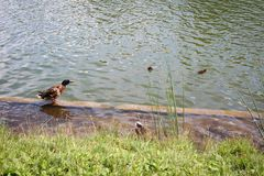 Ducks, geese and pigeons swim in the pond and walk along the shore.  Stock Photography
