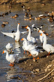 Ducks and geese in the pond. In the swimming Royalty Free Stock Photos
