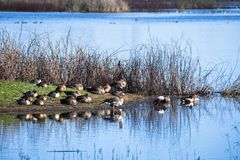 Ducks and geese resting on the shoreline of a pond stock photo