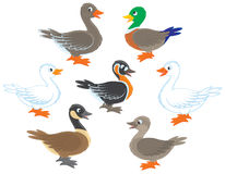 Ducks and geese. Several wild and domestic birds, vector illustrations on a white background Royalty Free Stock Images