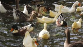 Ducks, geese and swans. Feed on the water stock video footage