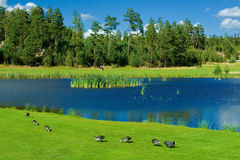 Ducks on a golf grass. Swedish golf landscape with a pond and some ducks beside it Stock Image