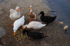 Ducks, Goose, and Ducklings by Pond Royalty Free Stock Photo