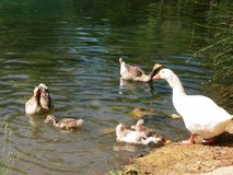 Ducks and goose family in a relaxed water lake. Reflects in a relaxed water , bigs and littles ducks, goose, white, brown green, beautiful, relax, peace, plants royalty free stock image