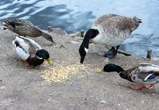 Ducks and goose feeding at Reddish Vale Royalty Free Stock Images