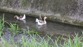 Ducks and goose swimming in water. Duck, Duck, Goose. Ducks and goose swimming in water stock video