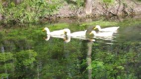 Ducks and goose swimming in water. Duck, Duck, Goose. Ducks and goose swimming in water stock footage