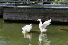 Ducks gooses animal birds water royalty free stock image