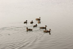 Gray ducks float  Royalty Free Stock Image