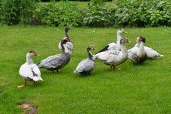 Ducks grazing the grass Royalty Free Stock Photo