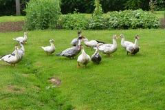 Ducks grazing the grass Stock Image