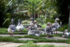 Ducks on a green garden Stock Image