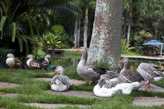 Ducks on a green garden Royalty Free Stock Image