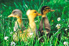 Ducks on green grass Royalty Free Stock Photos