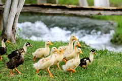 Baby ducks in the grass Stock Images