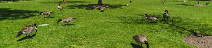 Ducks on green grass royalty free stock images