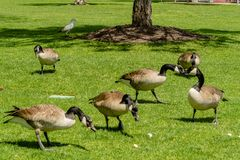 Ducks on green grass royalty free stock image