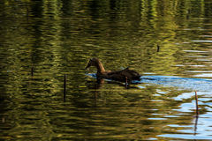 Ducks in Green lake parks. Green lake parks in Kunming city, China Stock Photo