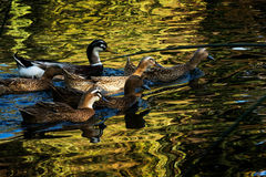Ducks in Green lake parks. Green lake parks in Kunming city, China Royalty Free Stock Image