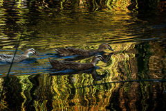 Ducks in Green lake parks. Green lake parks in Kunming city, China Royalty Free Stock Photo