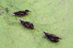 Ducks in in green morass. Group of swiming Ducks in green morass Royalty Free Stock Photos