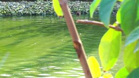 Ducks and Green Plant. Ducks on the Lake and the Green Plant. A nice focus in and out stock video