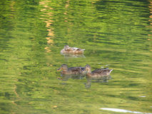 Ducks on the green water Royalty Free Stock Photo