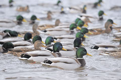 Ducks. Group of ducks no the water Royalty Free Stock Images