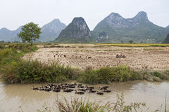 Ducks in Guilin. Ducks swim past a harvested rice field with the typical limestone mountains in the background in the southern China town of Guilin Stock Photography
