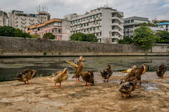 Ducks in Guilin Royalty Free Stock Photography