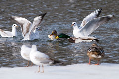 Ducks and Gulls fighting. For a piece of bread Stock Photos
