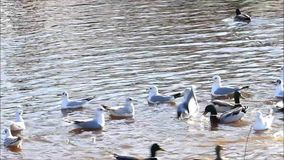 Ducks and gulls swimming in water stock video footage